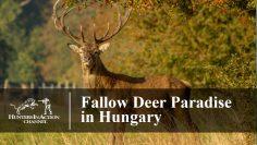 Fallow-Deer-Paradise-in-Hungary