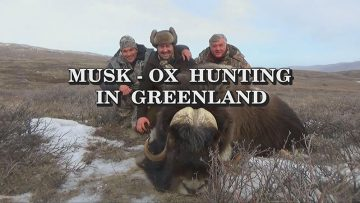 Musk-Ox-Hunting-in-Greenland
