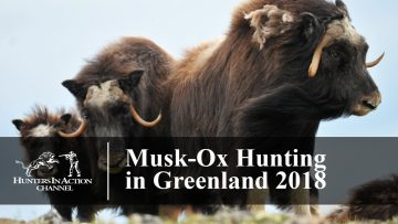 Musk-ox-hunt-in-Greenland-2018