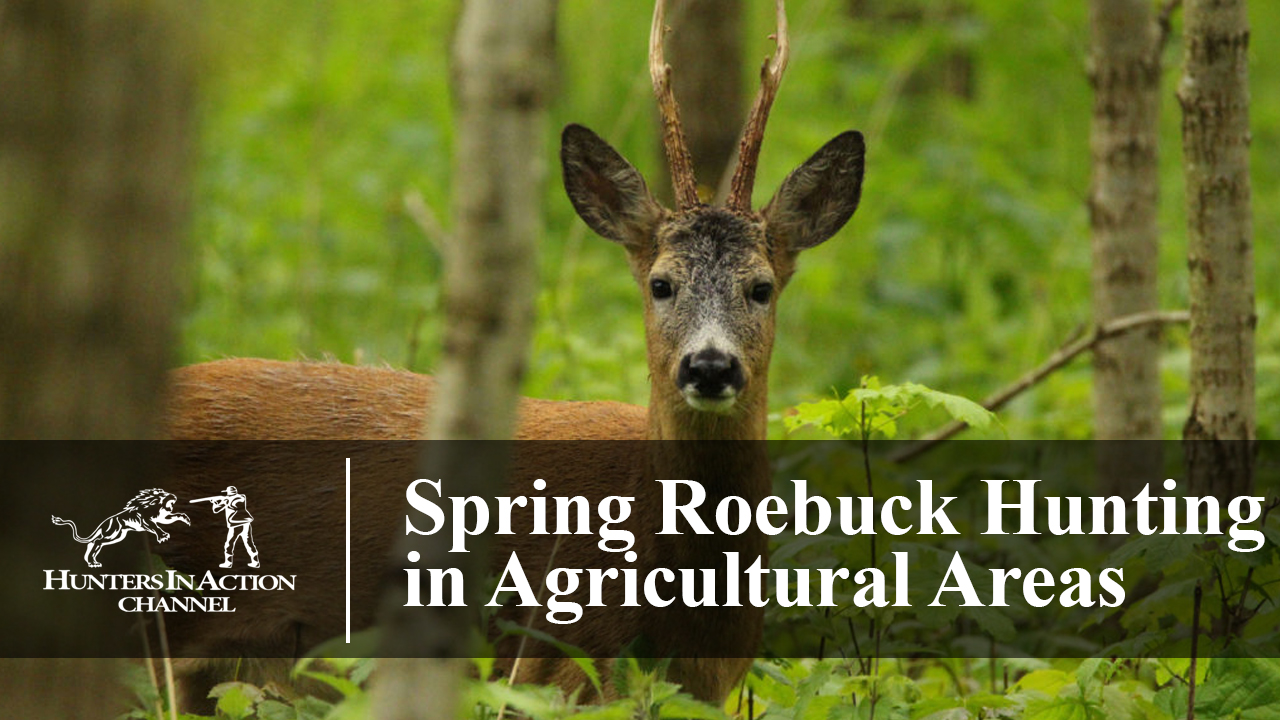 Spring-Roe-Buck-Hunting-in-Agricultural-Areas
