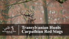 Transylvanian-hunts—Carpathian-red-stags