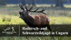 Rothirsch–und-Schwarzwildjagd-in-Ungarn