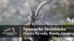 Spanische-Steinböcke-(Sierra-Nevada,-Ronda,-Gredos)